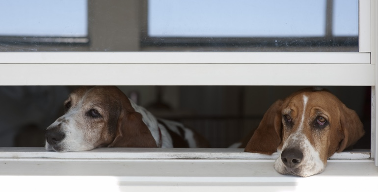 Dogs look out open window without window covering in Sacramento.